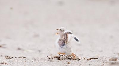 Least tern chick runnning