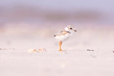 Young Piping Plover at shore