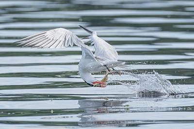 Caspian Tern flipping over a fish
