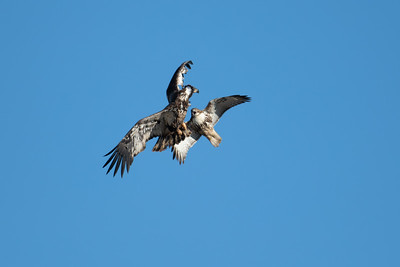 red-tail hawk attacks immature bald eagle in the air