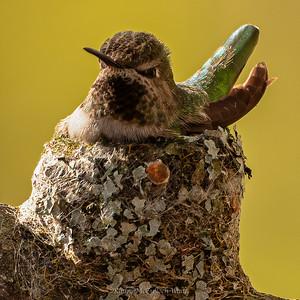 Anna's Hummingbird on Nest