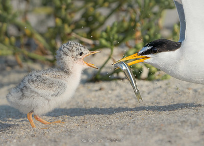 Breakfast with Least Terns