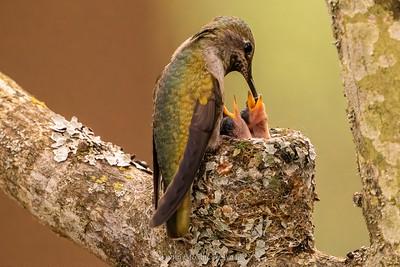 Anna's hummingbird feeding chicks