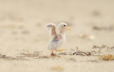 Least tern chick on a walk