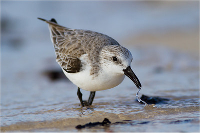 Sanderling CCalidris alba, winter plumage