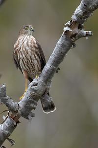 sharp-shinned hawk (Accipiter striatus) perched
