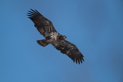 Bald eagle in flight against blue sky