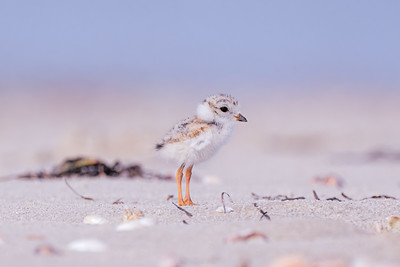 Piping Plover Chick on the beach