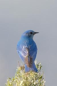 Mountain bluebird on a bush