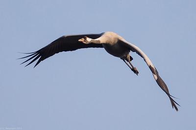 Grey Crane (Grus grus)