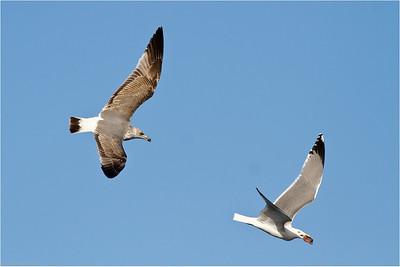 Yellow-legged Gulls (Larus michahellis atlantis), Fuerteventura