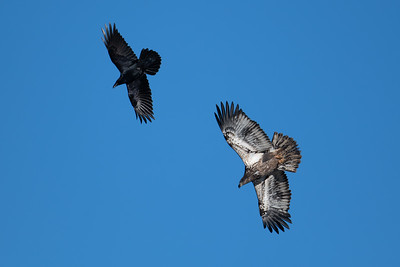 Common raven flies with immature bald eagle against blue sky
