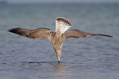 Immature European Herring Gull diving (Larus argentatus)