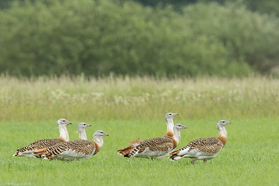 Male Great bustards (Otis tarda) in Brandenburg