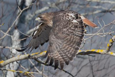red-tailed hawk in flight winter