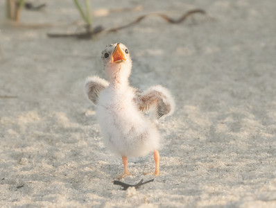 Least tern chick calling out