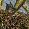 Eagle Owl (Bubo bubo); female breeding