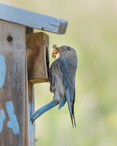 Bluebird with butterfly