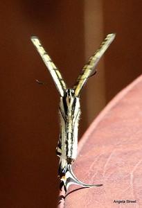 Dancing Western Swallowtail