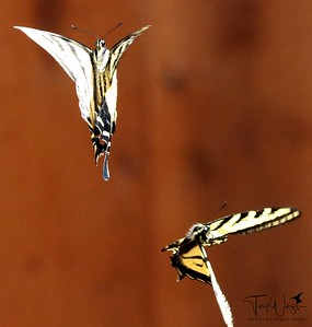 Mating Dance of the Tiger Swallowtails