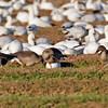 BEAN GOOSE (TAIGA)<br /> (far right goose)