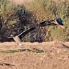 BEAN GOOSE (TAIGA)<br /> (rear landing goose)