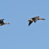 BEAN GOOSE (TAIGA), front<br /> Greater White-fronted Goose, rear