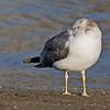 Black-tailed Gull<br /> Los Alamitos Bay, Long Beach, CA