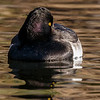 MALE TUFTED DUCK<br /> Mission Creek outflow, Santa Barbara, CA.