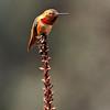 Allen's Hummingbird, male