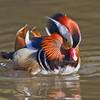 Mandarin Duck, male