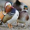 Mandarin & Wood Ducks, males