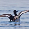 TUFTED DUCK HYBRID<br /> Possible tufted X scaup hybrid.