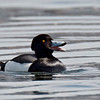 Tufted Duck, possible tufted x scaup hybrid.