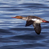 Red-breasted Merganser, female