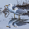 CALIFORNIA AND RING-BILLED GULLS