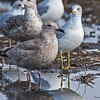 JUVENILE THAYER'S GULL