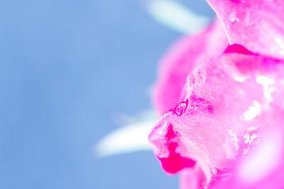 Rose petal with water drop, kelvin temp modified