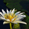 One of many beautiful water lilies at Longwood Gardens.