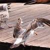 Gulls @ Pier 39 Closeup