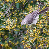 Mockingbird in Anaqua Tree