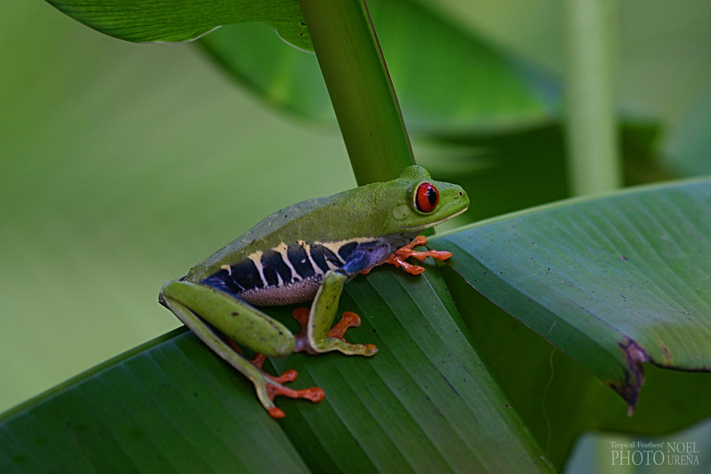 Red-eyed Leaf-Frog