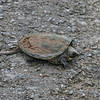 South American Snapping Turtle