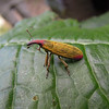 Beetle, Costa Rica