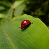 Scarlet Lady Bug