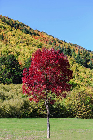 NZ 18 The Little Red Tree