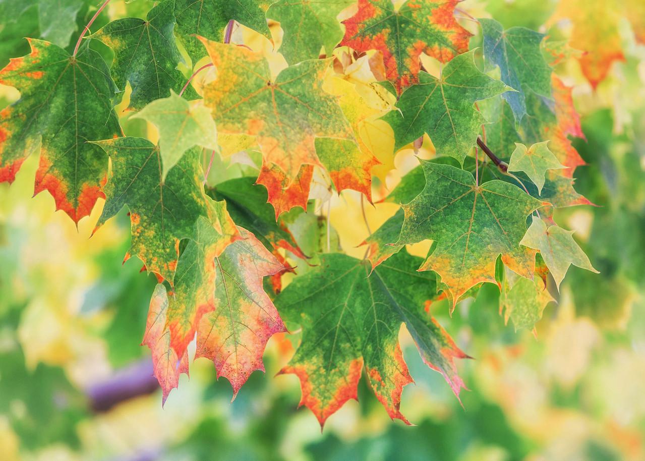 NZ 16 Autumn Leaves 3