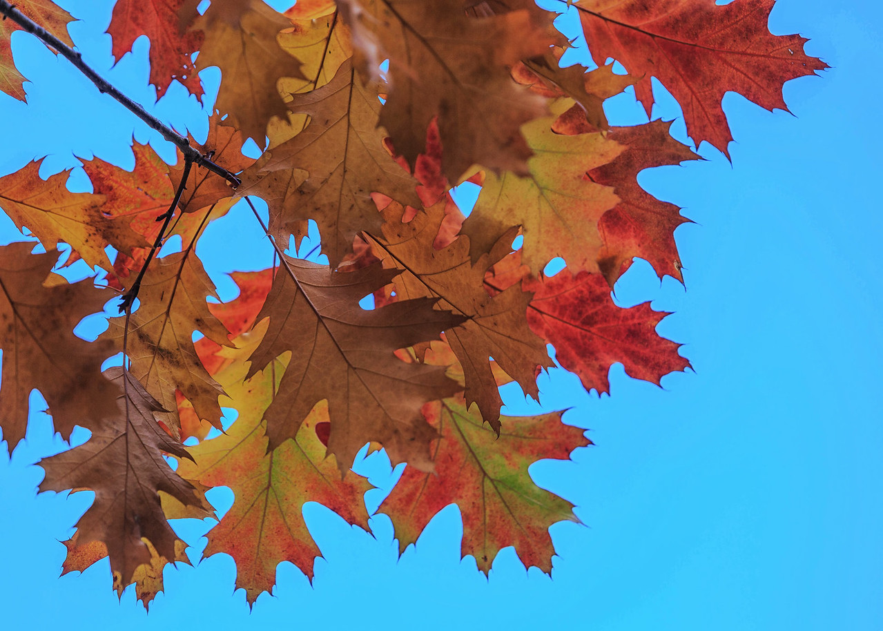 NZ 15 Autumn Leaves 2