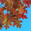 NZ 15 Autumn Leaves 2