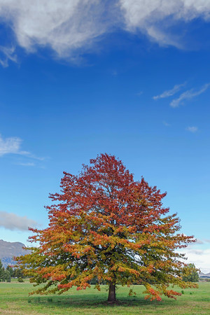 NZ 20 The Autumn Tree